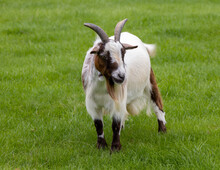 Billy Goat Goat On Pasture