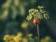 Lone ladybird