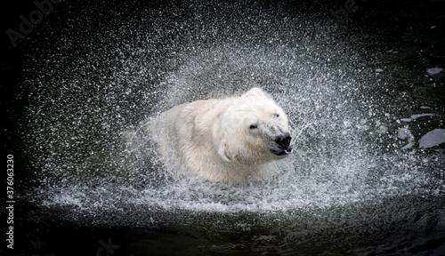 Obraz na plátně Eisbär