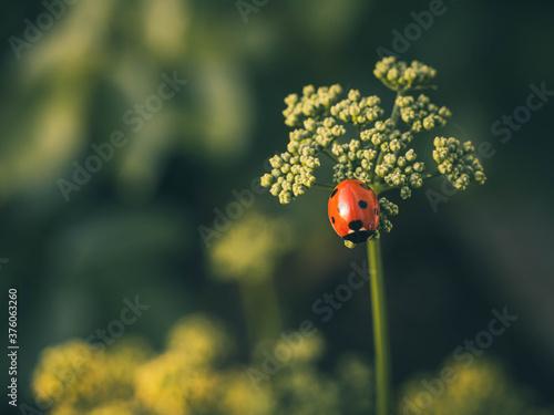 Fotografia, Obraz Lone ladybird