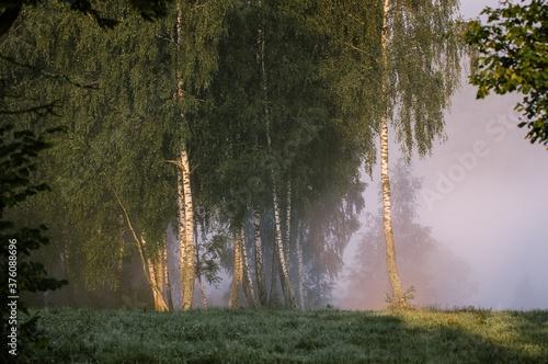 Drzewa brzozy na skraju łąki spowitej mgłą - 376088696