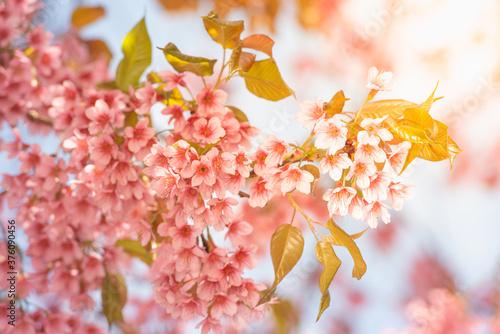 Obraz na plátně Thai Sakura flower background in winter season on tree, prunus cerasoides