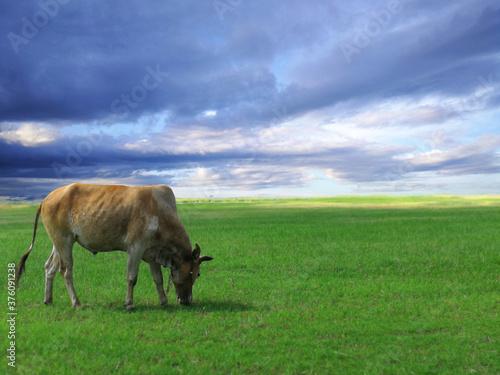 A cow on green grass, grazing animal. Wallpaper Mural