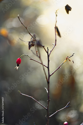 Obraz na plátně Red rosehip berry on a bush branch with fallen leaves on a blurred background