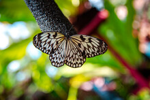 Rare Species Of Black And White Butterfly In Simply Butterflies Conservation Center On Bohol Island, Philippines
