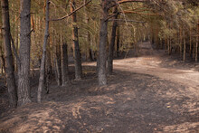 Dirt Roads In The Forest, Pine...