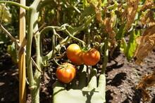 Mano Con Guante Tocando Tres Tomates En El Huerto