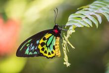 A Cairns Birdwing Butterfly Perches On A Fern Leaf Near Kewarra Beach In Cairns, Queensland, Australia.