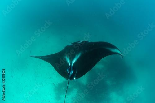 Fototapeta A Manta ray, Manta alfredi, cruises near a cleaning station in Raja Ampat, Indonesia