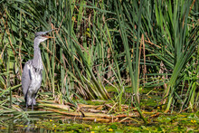 Close Up Of A Grey Heron With Beak Wide Open, Standing In Amongst Green Grasses At Waters Edge With Lillies
