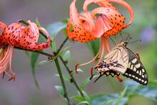オニユリとアゲハチョウ