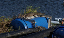 A Blue Drum With A Baby Crocodile Sunning Himself.