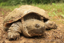 A Small Snapping Turtle Crawling Over The Land, Still Covered In Mud From The Pond. These Turtles Spend Most Of Their Lives In Ponds, But Sometimes Crawl Over Land To Find New Ponds Or Lay Eggs.