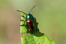 Shiny Green And Red Metallic Dogbane Leaf Beetle.