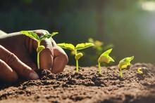 Farmer Hand Planting Beans In Garden
