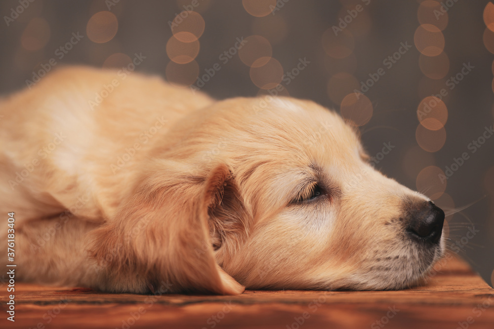 Fototapeta cute golden retriever puppy laying head down and looking to side