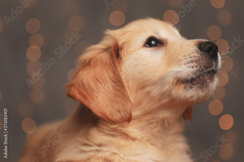cute golden retriever pup looking up on background lights