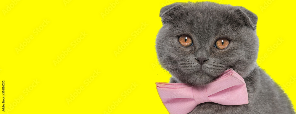 Fototapeta Eager Scottish Fold cat wearing bowtie and looking forward