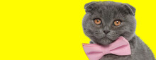 Eager Scottish Fold Cat Wearin...