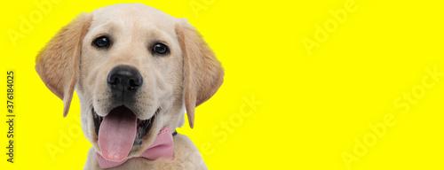 Fototapeta Happy golden Labrador Retriever smiling and panting, wearing bowtie