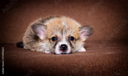small ginger welsh corgi puppy