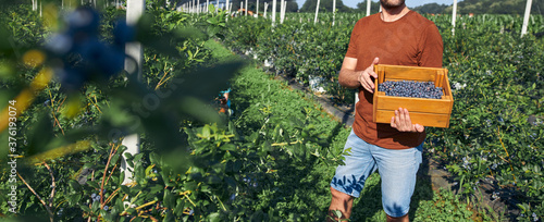 Fotografía Farmer working and picking blueberries on a organic farm - modern business concept