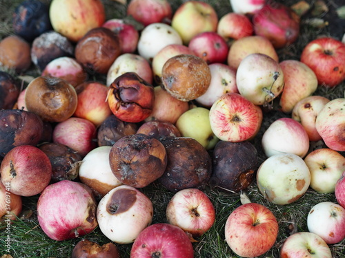 Valokuva Food waste, a bunch of rotting apples