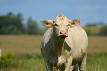 Portrait Of A Beef Cow