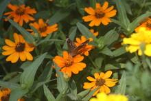 Common Buckeye Butterfly 2020 II