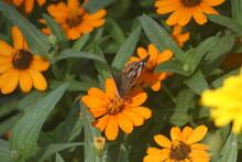 Common Buckeye Butterfly In Flowerbed 2020 III