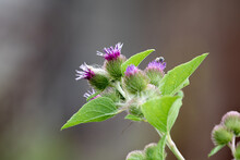 Arctium Minus, Common Burdock, Showing A Cluster Of Purple Flower Heads Opening Among Plentiful Green Bracts, And Lower Leaves, In Lansing, Michigan, USA