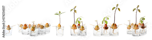 Fototapeta Set of avocado pits with sprouts on white background, banner design