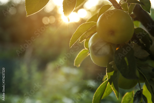 Ripe apples on tree branch in garden. Space for text Fototapet