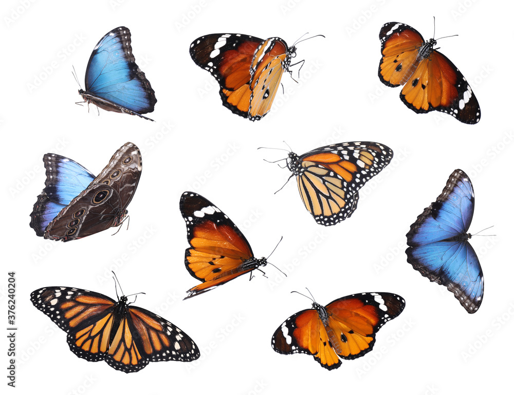 Fototapeta Amazing plain tiger, common morpho and monarch butterflies flying on white background