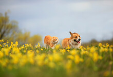 Natural Background With Cat And Dog Walking Together On Yellow Flowers Primroses On May Sunny Meadow