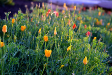Closed Flowers Of Escholzia In The Evening Light