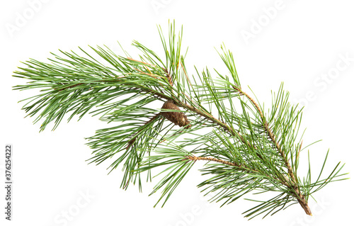 Fotografia pine branch isolated