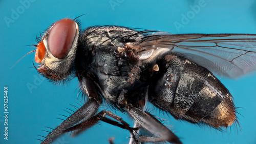 Photo mouche infectée par des acariens en focus stacking