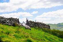 Sheep On The Hillside Of Kirks...