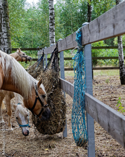 Horses eating hay from slow feeder hay net attached to fence of paddock in nature forest outdoor area Fototapet