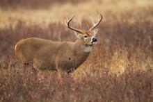 Whitetail Buck Flehmen Response