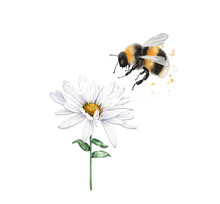 Illustration Of An Insect Striped Bumblebee Sits On A White Chamomile Flower, Close-up On A White Background
