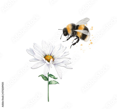 Canvas illustration of an insect striped bumblebee sits on a white chamomile flower, cl