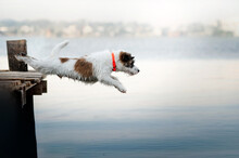 Jack Russell Terrier Funny Dog...
