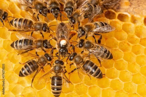 Foto the queen (apis mellifera) marked with dot and bee workers around her - life of