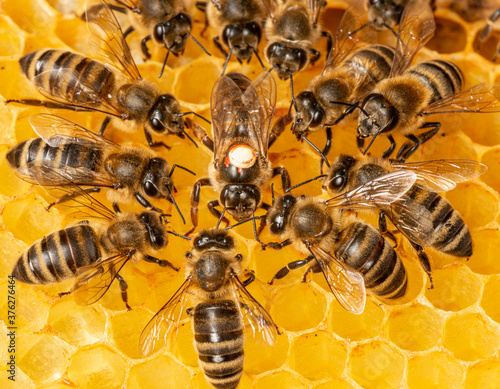 Fotografiet the queen (apis mellifera) marked with dot and bee workers around her - life of