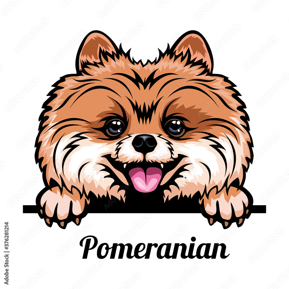 Fototapeta Head Pomeranian - dog breed. Color image of a dogs head isolated on a white background