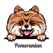 Head Pomeranian - dog breed. Color image of a dogs head isolated on a white background