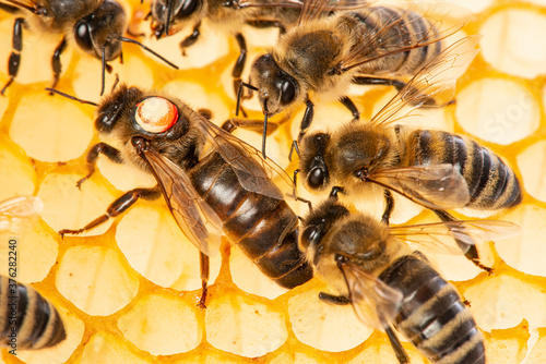 the queen (apis mellifera) marked with dot is laying eggs and bee workers around Fototapete