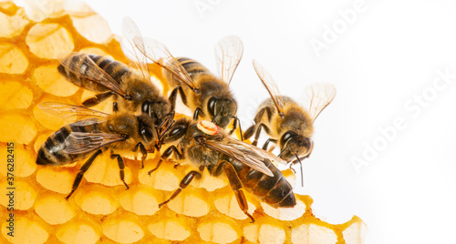 the queen (apis mellifera) marked with dot and bee workers around her - bee colo Poster Mural XXL